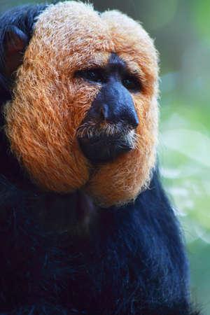 saki: A white faced saki monkey contemplates its future