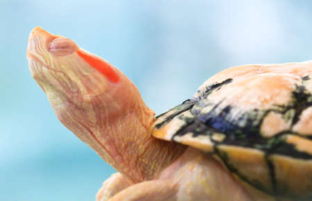 A sleeping albino red eared slider has translucent eyelids due to its lack of pigmentation. photo