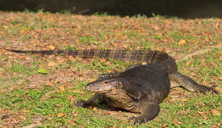 A monitor lizard basking in the late afternoon sun along the river bank.