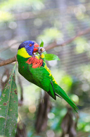 pullups: A close up of an Australian Rainbow Lorikeet doing pullups at the end of a branch.