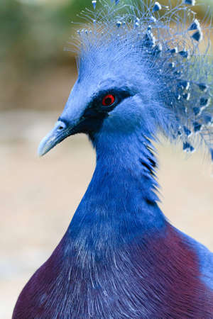 A close up of the Victoria Crowned Pigeon now on the threatened species list. Stock Photo