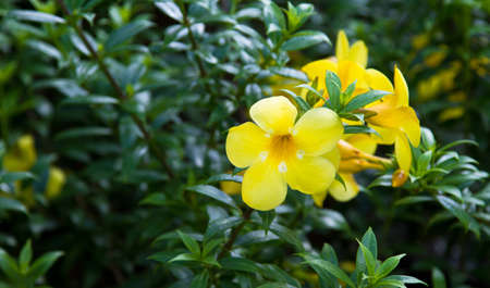 A cluster of yellow flower blossoms in full bloom brings color to the bush Stock Photo - 8285905