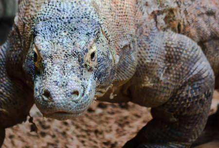 A komodo dragon lumbers closer for an upgront confrontation with the camera