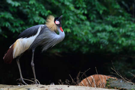 An african crowned crane atop a hill initiates a series of mating calls photo