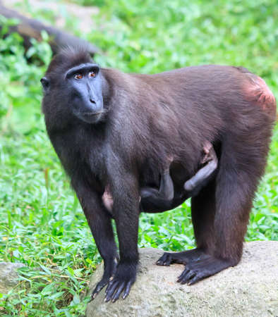stomache: An endangered Sulawesi Crested Macaque female alert to her surroundings as her baby clings onto her stomache.