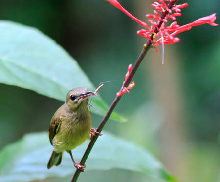 A female olive back sunbird catches an insect while searching for nectar Stock Photo - 9112260