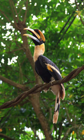 hornbill: A Great Pied hornbill sits on a branch and lets out a loud ringing bird call