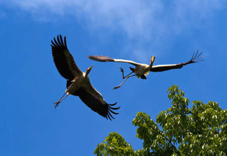 horsing around: A pair of painted storks horsing around in flight and almost have an accident