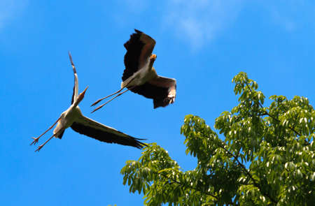 A pair of painted storks horsing around in flight and almost have an accident