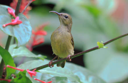 An olive back sunbird looking for a blossom to feed from Stock Photo - 9112259