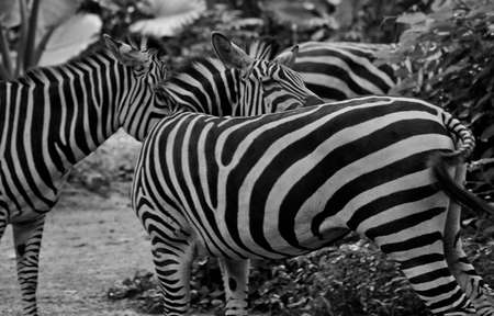 A trio of zebras offers an optical illusion, which ones head cant be seen? Stock Photo