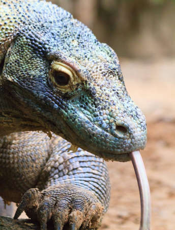 cold blooded: A close up of a komodo dragons head showing its color and texture