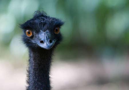 flightless: A close up of the head of the flightless emu Stock Photo