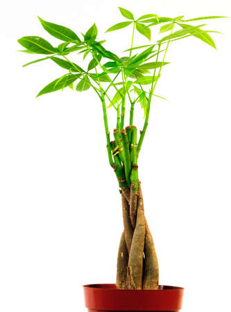 A potted plant with a twisted trunk and diamond shaped petals on a white background Stock Photo - 10025241
