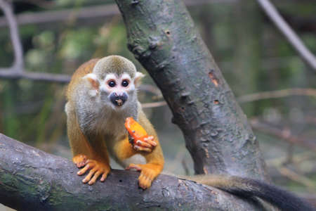 A common Squirrel Monkey on a tree limb enjoying a piece of fresh fruit  photo
