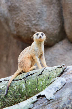 sentry: A Meerkat on sentry duty taps its foot to alert its family  Stock Photo
