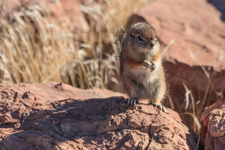 An inquisitive antelope squirrel stands on it photo
