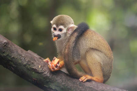 A hungry squirrel monkey devouring a piece of strawberry papaya