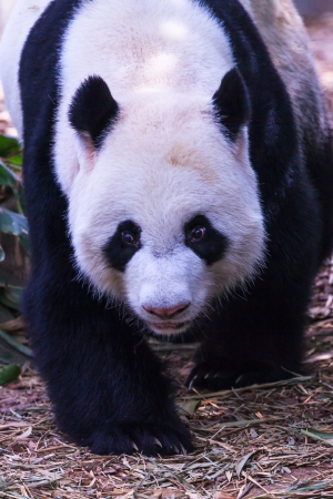 lumbering: A lumbering panda is pleasantly surprised by what he finds on