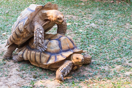 A pair of golden African Spurred Tortoises mating at dusk.