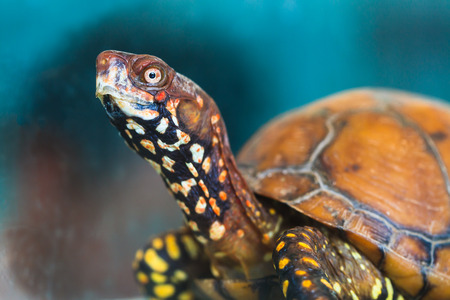 An African Pancake Tortoise perks up and gives full attention