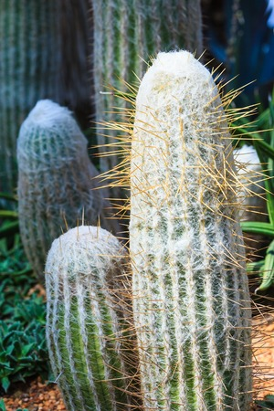 spines: A long barrel cactus with fuzz and long spikes named Old Man of the Mountain