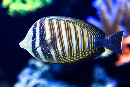 Close up of Sailfin Tang, a tropical reef fish.