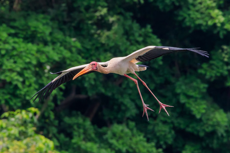 gliding: A painted stork gliding with legs extended to land Stock Photo