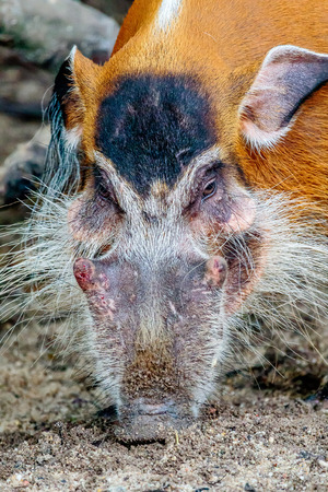 rooting: A close up of a red river hog making eye contact while rooting through the mud