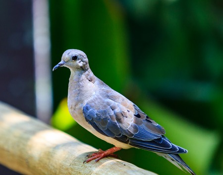 beak doves: Close up of a bluish brown dove with a black beak and pink feet. Stock Photo