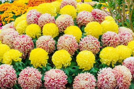 cone shaped: A cone shaped arrangement of yellow, white and purple chrysanthemum flowers. Stock Photo