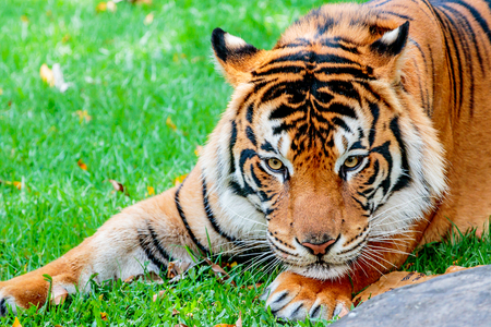 sumatran tiger: Close up of a female Sumatran tiger about to pounce on her prey Stock Photo