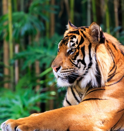 sumatran: Close up of a female Sumatran tiger Stock Photo