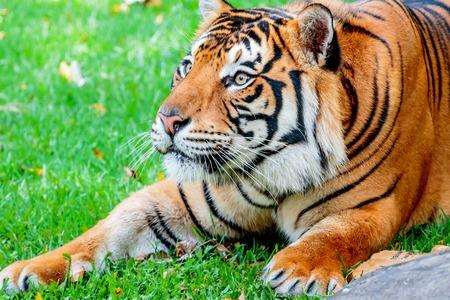 sumatran tiger: Close up of a female Sumatran tiger, about to leap up at her prey Stock Photo