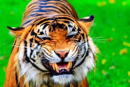 sumatran tiger: Close up of a female Sumatran tiger with a teeth baring grin Stock Photo
