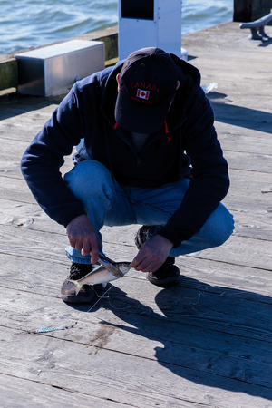 A canadian fisherman de-hooks a landed herring on the pier with tongs. Stock Photo - 58302876