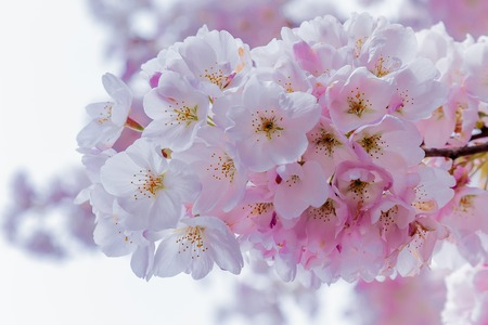 Close up of a cherry blossom bunch in full bloom during the first week of Spring. Stock Photo - 58302886