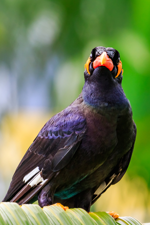 Close up of an angry looking Common Hill Mynah. Stock Photo - 62914505