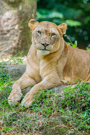 A lioness making eye contact does not look impressed. Stock Photo - 64068037