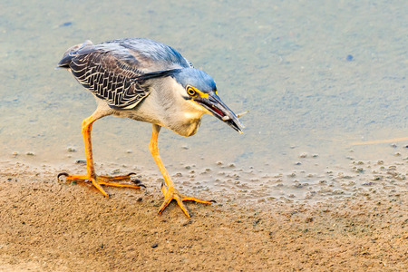 A Striated Heron successful catching its prey along the river bank. Stock Photo
