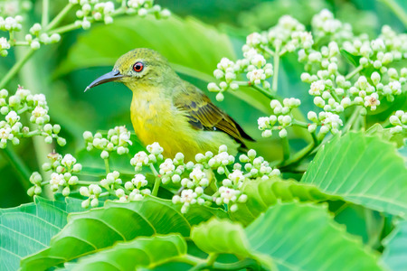A female brown neck sunbird hunched behind a leaf