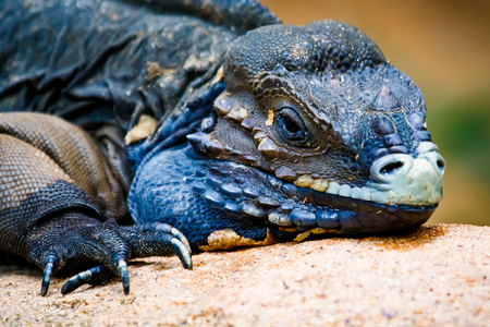 Close up of a Rhinoceros Iguana basking in the sun