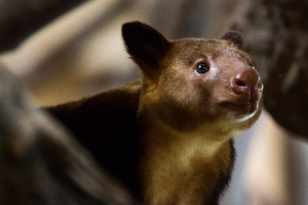 Close up of a brown Tree Kangaroo up in a tree
