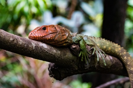 Tricolored Caiman Lizard resting on a branch.