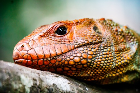 Close up profile of a Caiman Lizard resting on a branch.