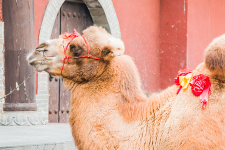 A pet camel waiting for the next paying customer who wants a ride. Stock Photo