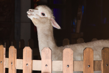 A cheeky, beige alpaca in an indoor wood fence enclosure. Stock Photo