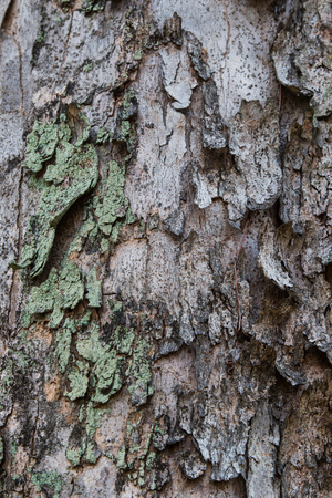 Close up of a trees bark cracking, peeling and over grown with algae. Stock Photo