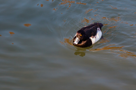 A lone tufted duck swimming in Osaka Castles moat in the early morning sun.