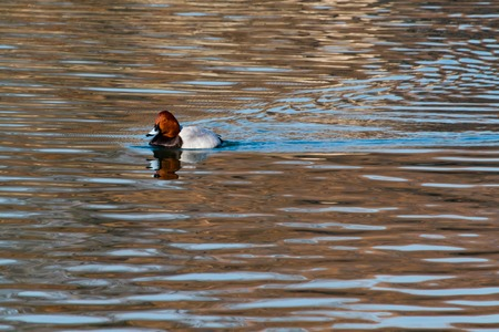 A Common Pochard duck swimming in Osaka Castles moat